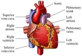 Effects of alcohol on the heart mediologiest human heart contains four chambers and pumps the blood through its own electrical system heart has the ability to send blood to all parts of your body ccuart Images